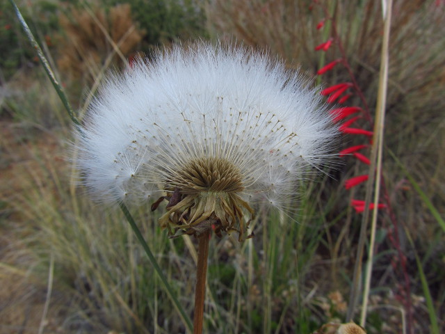 the puffy white of a dandelion in seed