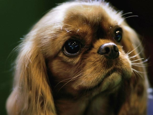 World's most outrageously expensive dogs 6