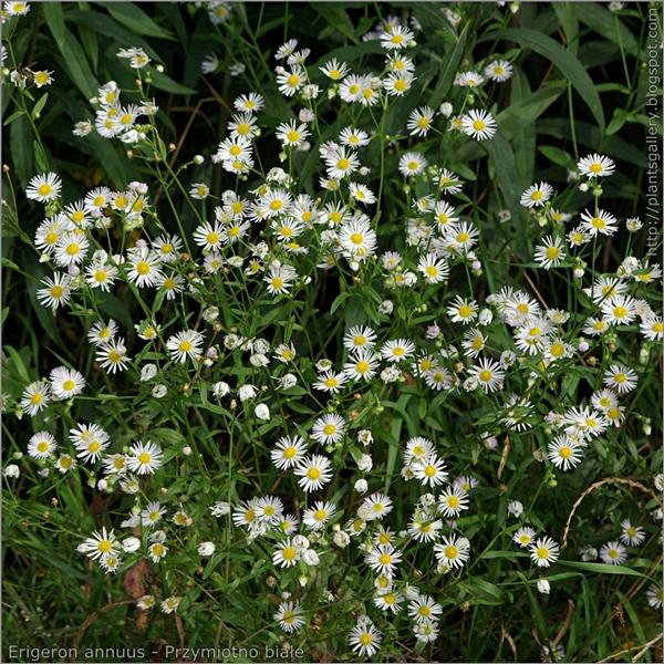 Erigeron annuus - Przymiotno białe kwiatostany