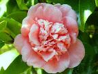 桃色 唐子咲き 中輪