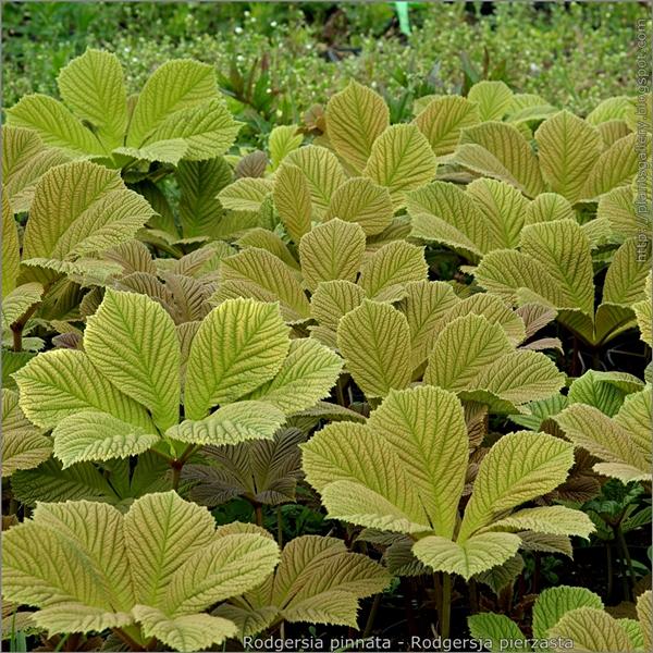 Rodgersia pinnata leafs - Rodgersja pierzasta liście