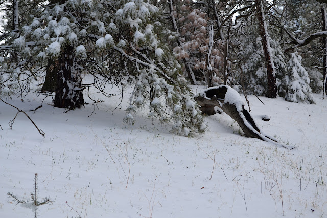snow over a log and on trees