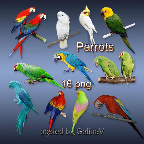 Клипарт PNG на прозрачном фоне - Попугаи