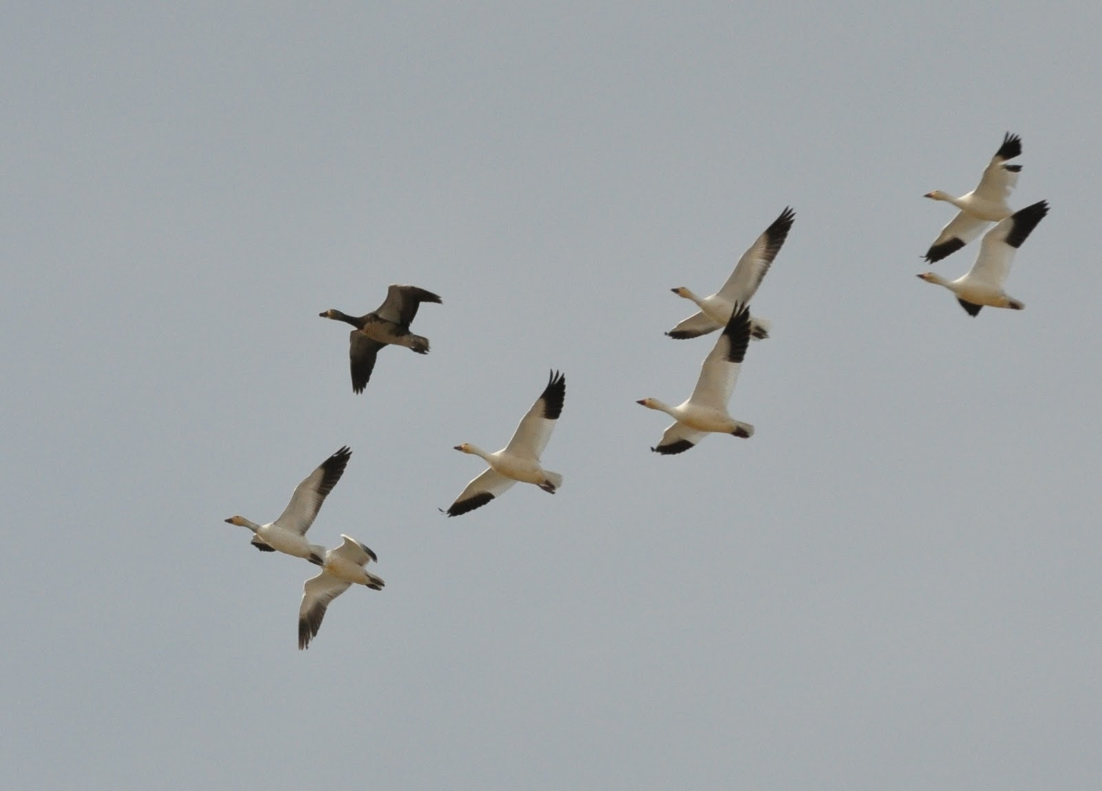 birds of madison county snow geese migration snow geese migration