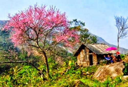 hoa tet pystravel005 002 Nên đi du lịch Hà Giang vào mùa nào?