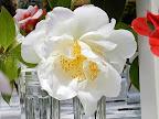 白色 八重〜牡丹咲き 大輪
