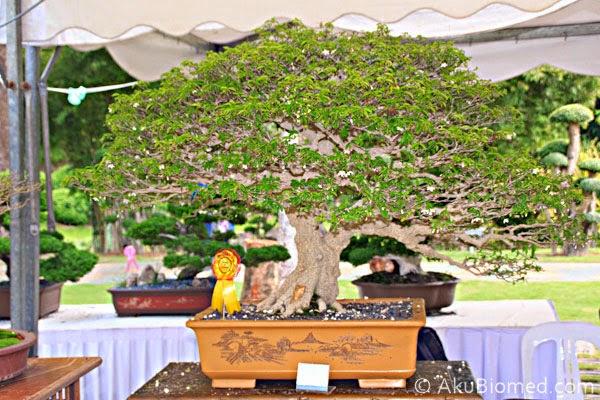 pokok bonsai santalia