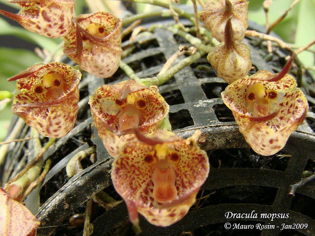 Растения из Тюмени. Краткий обзор - Страница 3 Dracula%252520mopsus1