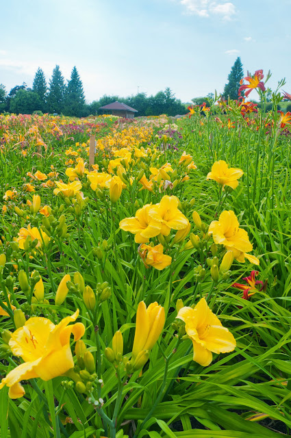 Taglilien-Tage in Laufen