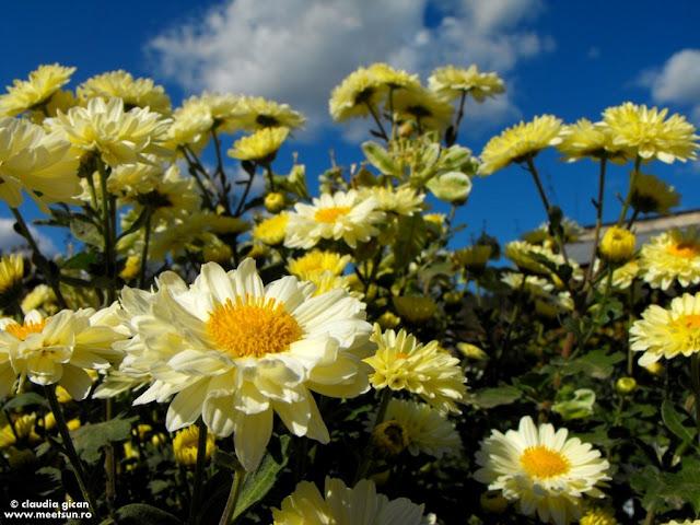 flori de toamna de gradina: tufanici