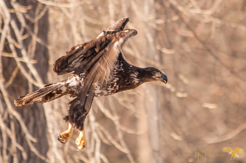 After release, this immature bald eagle makes a bid for a nearby tree. Photo by Lisadawn Schram/Feathered Hope.net