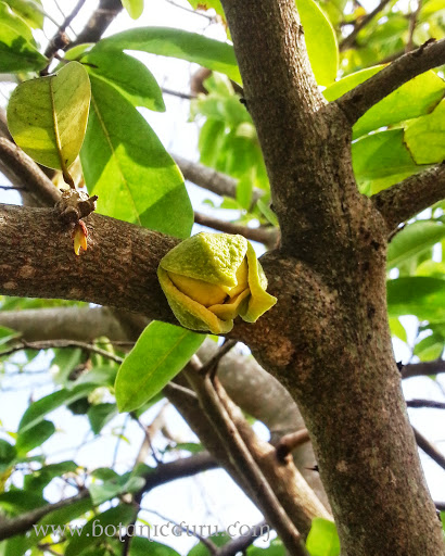 Annona muricata, Soursop, Prickly Custard Apple trunk and flower