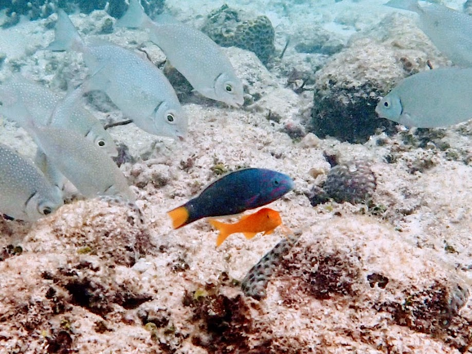 Thalassoma lunare (Lunare Wrasse) with a juvenile Parupeneus cyclostoma (Yellow Goatfish) that follows it around the reef, Miniloc Island Resort reef, Palawan, Philippines.