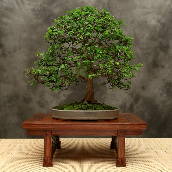 How Bonsai Trees Reflect Japanese Culture