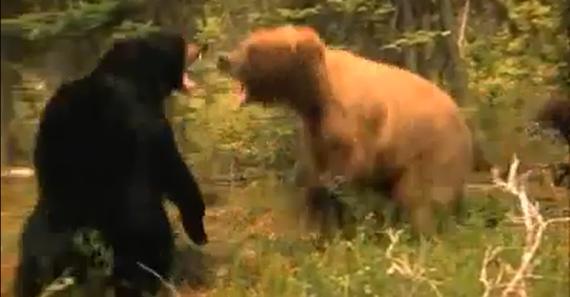 Urso pardo vs Urso polar - Página 2 72e36d9e70c2467fc288624488d768c0bec6176d_r