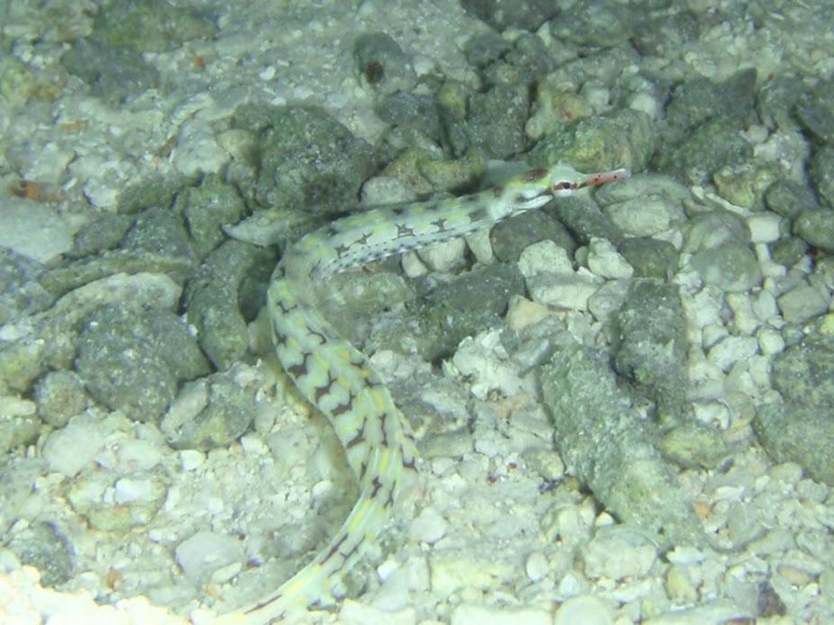 Corythoichthys flavofasciatus (Network Pipefish), Aitutaki.