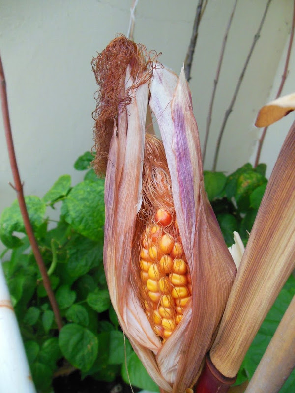 Dry Corn on my Balcony