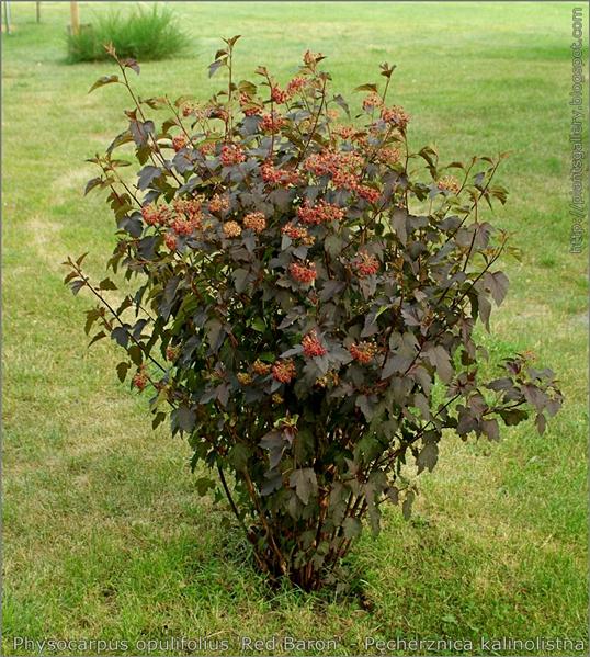 Physocarpus opulifolius 'Red Baron' - Pęcherznica kalinolistna pokrój owocującej rośliny