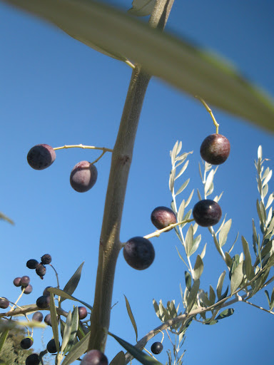 Olives pretending to be grapes