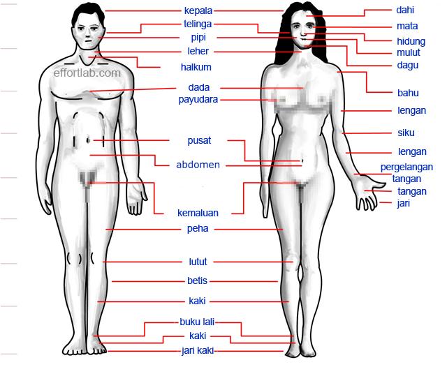 anggota-badan-manusia