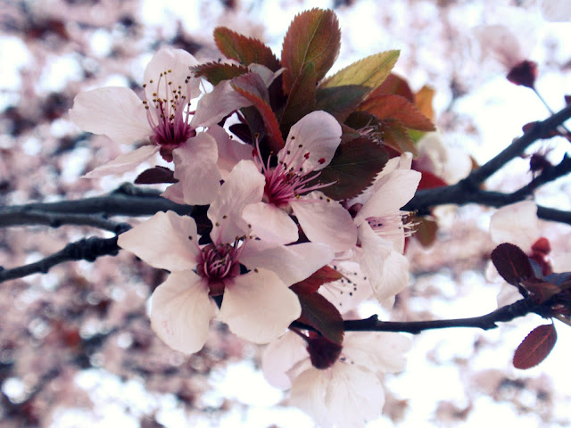 flowering peach trees