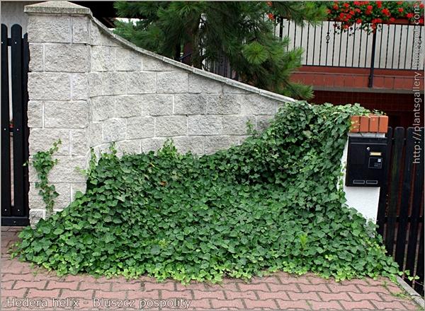 Hedera helix - Bluszcz pospolity przykład wykorzystania w architekturze ogrodowej