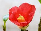 明るい紅色 一重 猪口咲き 侘芯