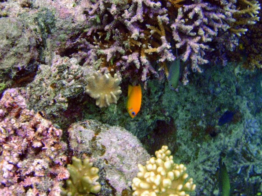 Centropyge flavissima (Lemonpeel Angelfish), Naigani Island, Fiji.