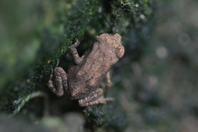 Monsoon frog
