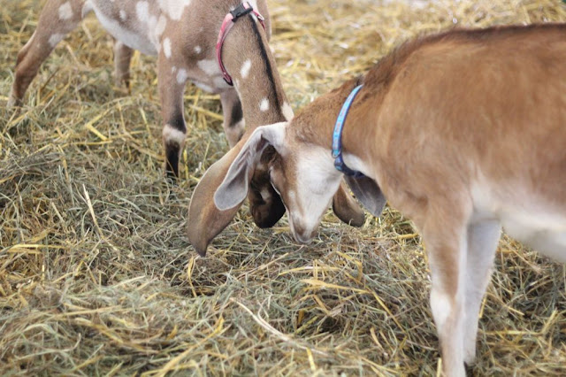 two goats play-fighting
