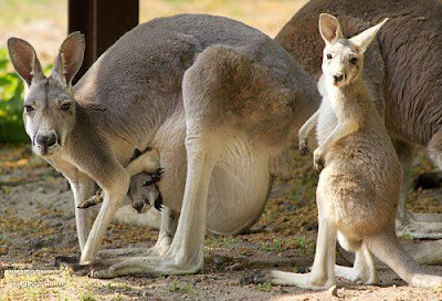 Kangaroos have two wombs