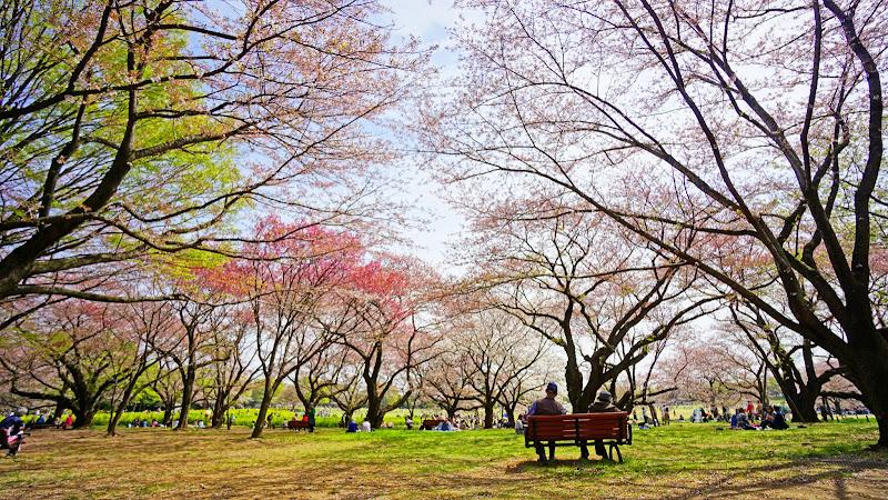 昭和記念公園 桜 写真22
