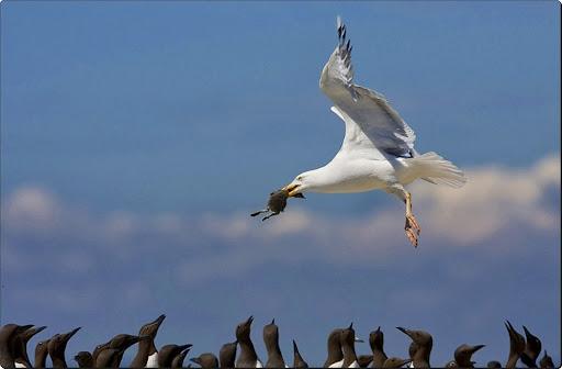 Herring Gull with Guillemot Chick.jpg