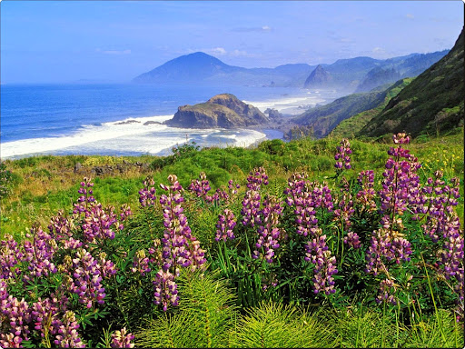 Lupines Along the California Coastline.jpg