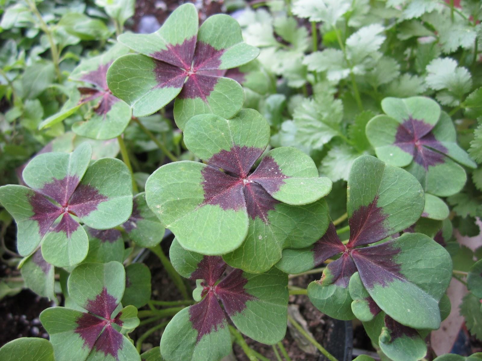 St patricks day clover garden wendys hat st patricks day clover garden mightylinksfo