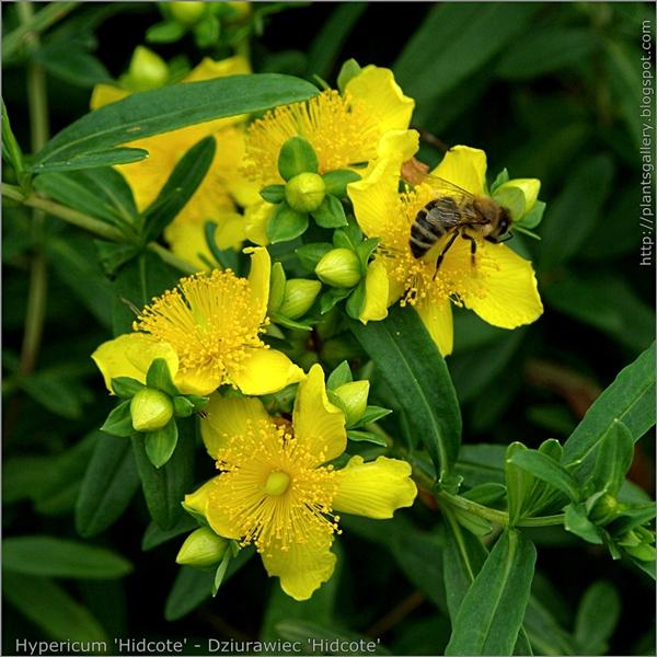 Hypericum 'Hidcote' inflorescence - Dziurawiec 'Hidcote' kwiatostan