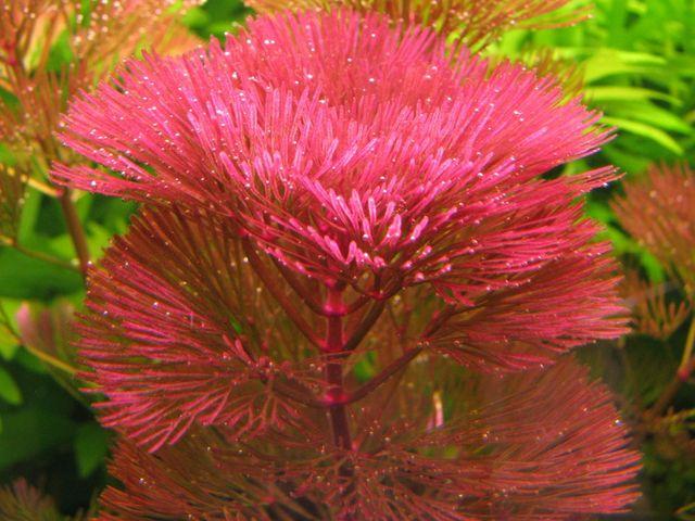 Кабомба красноватая (Cabomba furcata)