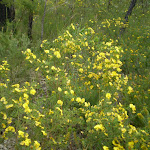 Graceful Bush Pea (Pultenaea flexilis) (6565)