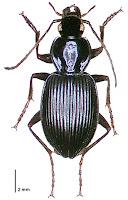 Ctenonathus novaezelandiae. Photo: BE Rhode. Citation: Larochelle A, Larivière M-C, Rhode BE 2004-2011. Checklist of New Zealand ground-beetles (Coleoptera: Carabidae) - Image gallery. The New Zealand Carabidae, NZC 01.