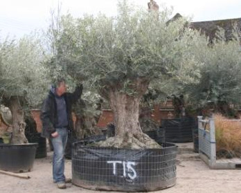 how to grow olives in australia