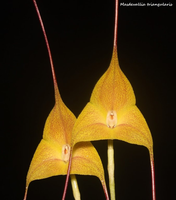 Masdevallia triangularis  IMG_0058b+%2528Medium%2529