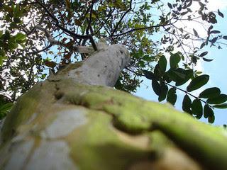 pohon jambu batu yang tinggi