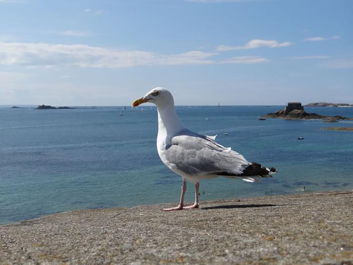 DSC01574.jpg - Les oiseaux � Saint-Malo par Bretagne-web.fr