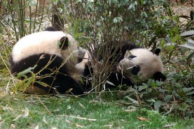 pandas tug of war