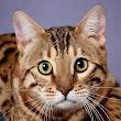 Al Janna Bengalkatzen A
