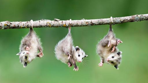 Hang Tight, Baby Opossums.jpg