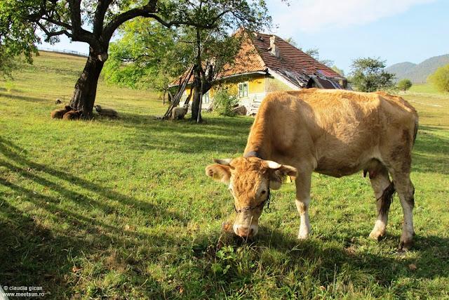 viaţa satului cu vaci şi oi