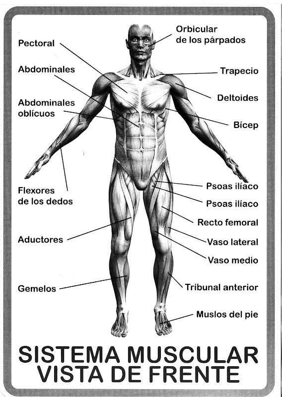 Pinto Dibujos: Dibujo del sistema muscular para colorear