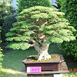 33 Premna pobtusifolia.JPG