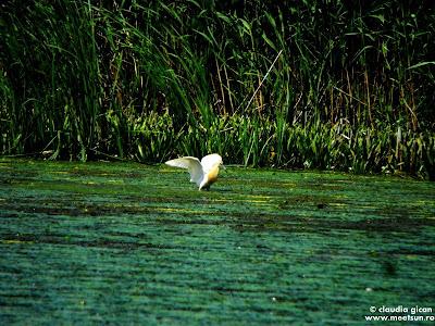 pasari din delta: stârcii galbeni